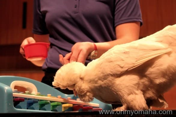 "Here's Q-Tip, the zoo's resident ""Beethov-hen."" It's their joke, not mine."