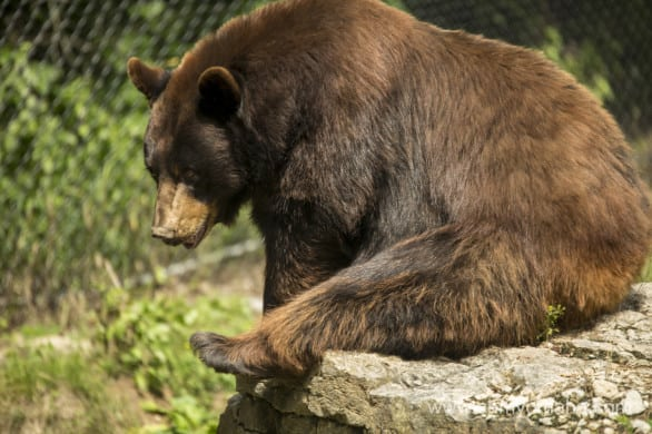 This is either Cinnabon or Licorice, two sister bears at the Nebraska WIldlife Safari.