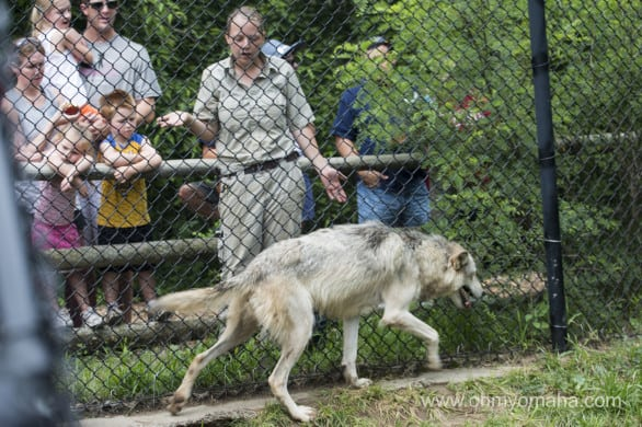 One of the keepers explains the wolves' feeding schedule and preferred foods.