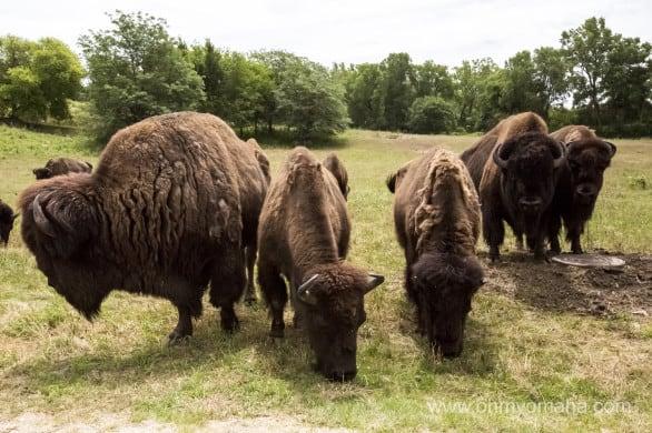 Buffalo at the Nebraska Wildlife Safari in Ashland, Neb.