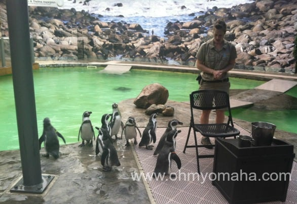 Keeper feeding the penguins at Lincoln's zoo.