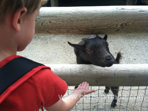 Feeding a goat a Lincoln Children's Zoo