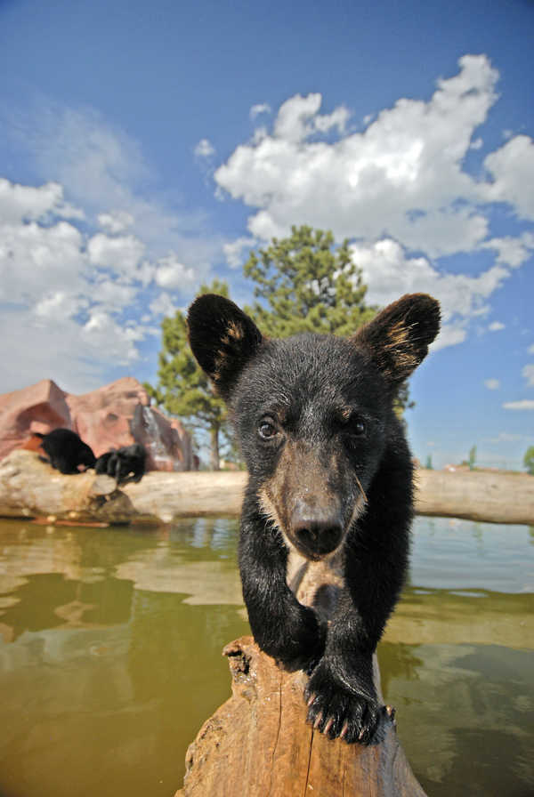 South Dakota Bucket List - See a bear cub at Bear Country USA in Rapid City, South Dakota
