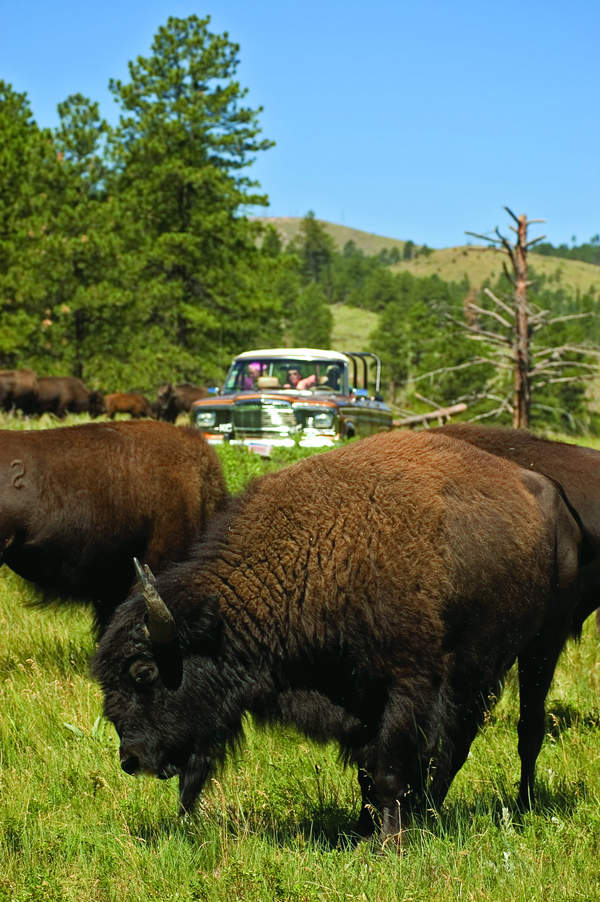 Buffalo safari jeep tour at Custer State Park