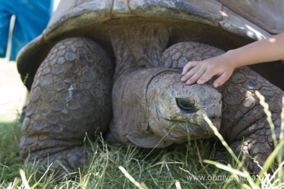 This big tortoise at Reptile Gardens is over a 100 years old.