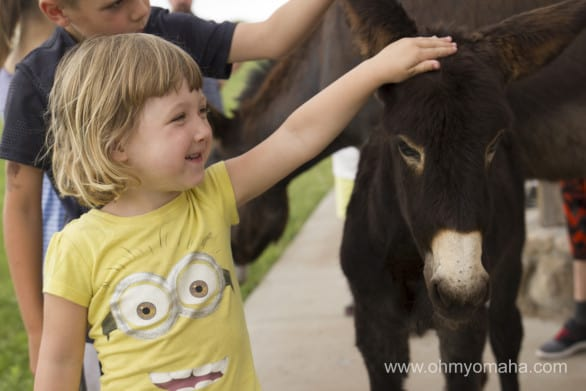 While still wild animals, the famous begging burros of Custer State Park sure managed to befriend every kid in the park.