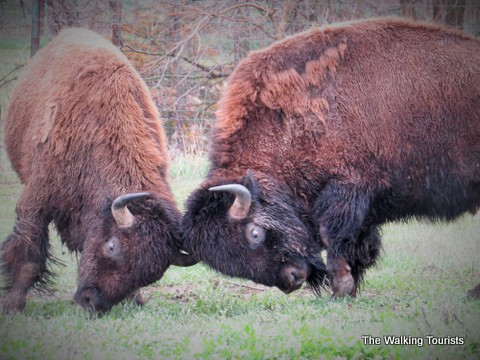 Bison at the Simmons Conservation Park and Wildlife Safari. Photo courtesy The Walking Tourists
