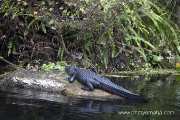 Alligator sunning itself by Wekiva River in Florida