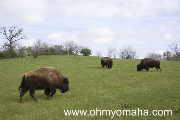 American Bison herd in Kansas City, Missouri.