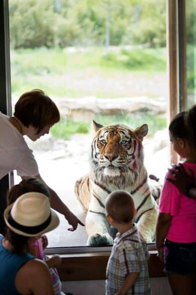A tiger at Sedgwick County Zoo in Wichita, Kansas
