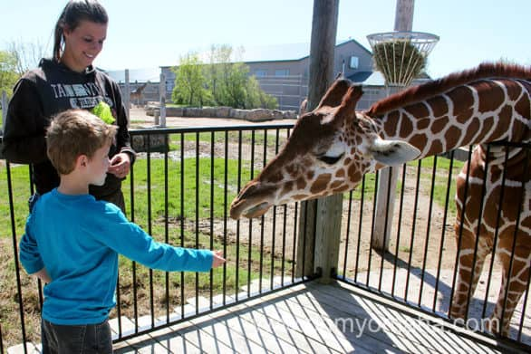 Giraffe feeding experience at Tanganyika Wildlife Park near Wichita, Kansas