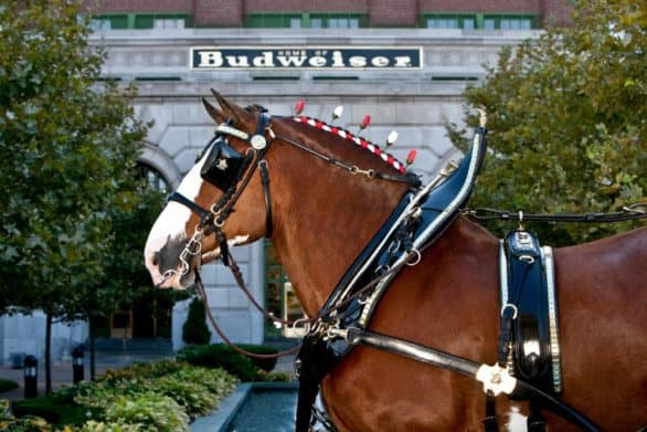 One of the Budweiser Clydesdales at the Anheuser-Busch Brewery