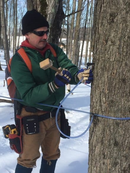 Tapping a maple tree at Maple Moon Sugarbush & Winery in Petoskey, Michigan