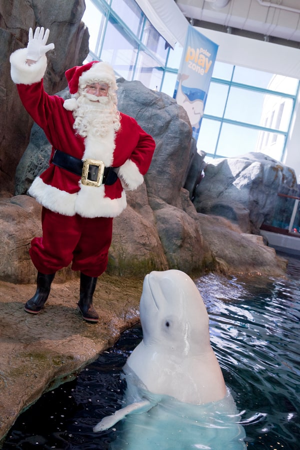 Santa and a beluga whale at Shedd Aquarium