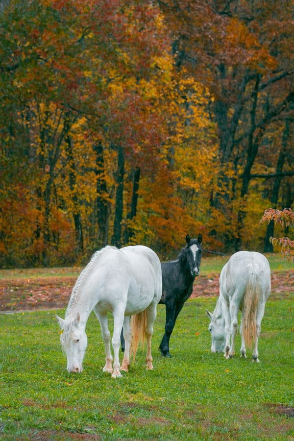 Wild horses at Echo Bluff State Park in Missouri