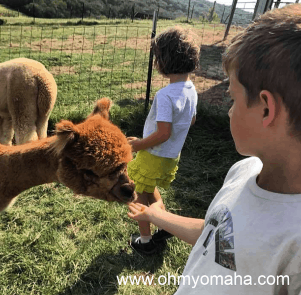 You can get up close to alpacas at Alpacas of the Heartland in Fort Calhoun during National Alpaca Farm Day in September.