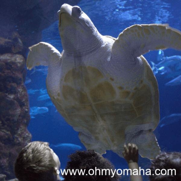 Giant sea turtle in the shark tunnel at Omaha's Henry Doorly Zoo & Aquarium.