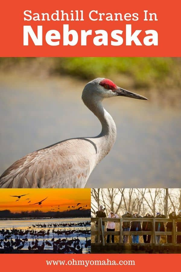 A helpful guide for first-timers wanting to see the sandhill crane migration in Nebraska 2020. Find central Nebraska viewing locations, tour options, as well as details on the Audubon Nebraska's Crane Festival. #Nebraska #birds #
