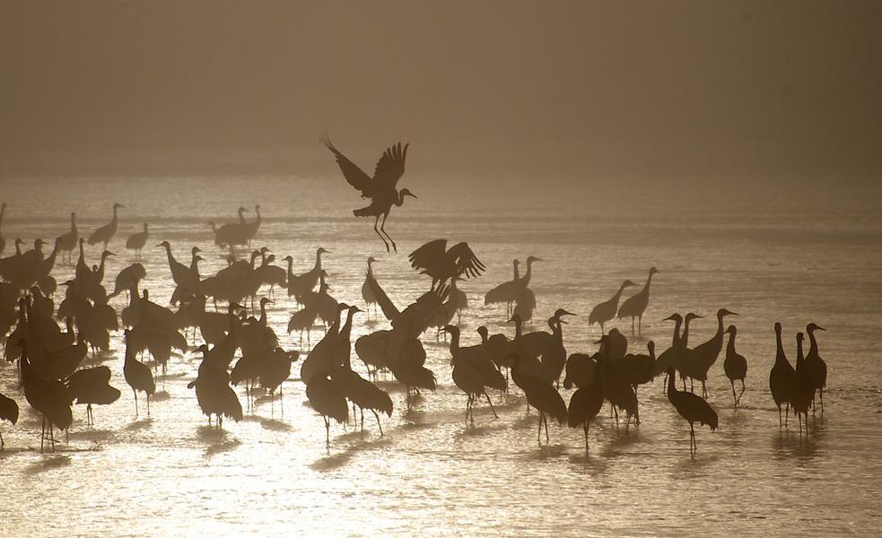 Sandhill cranes at the Crane Trust in Wood River, Nebraska