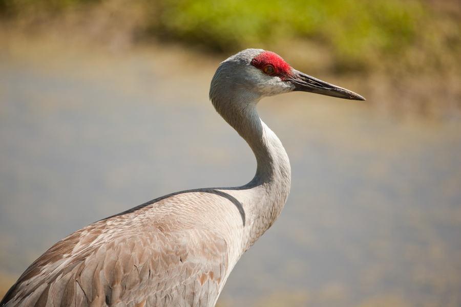 Close-up photo of a sandhill crane in Nebraska