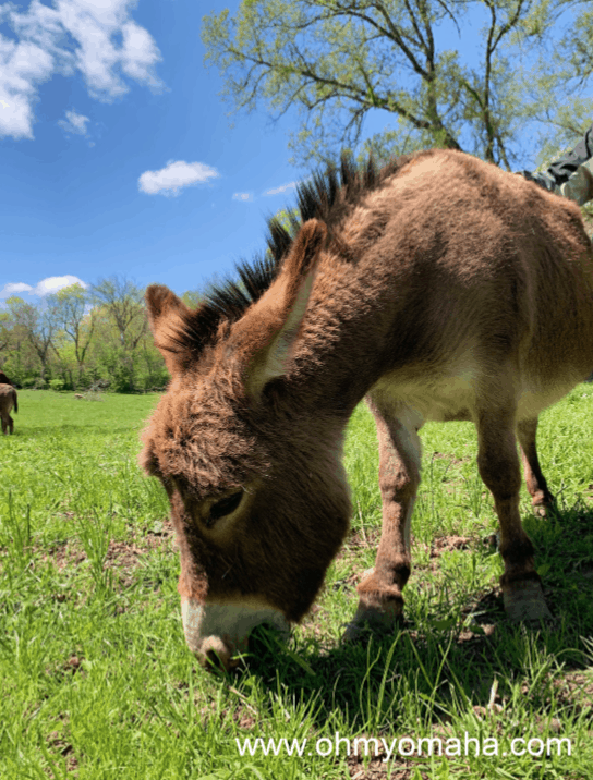 A donkey eats at Scatter Joy Acres