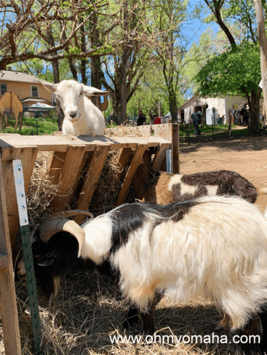 Goats at Scatter Joy Acres, a petting zoo in Omaha