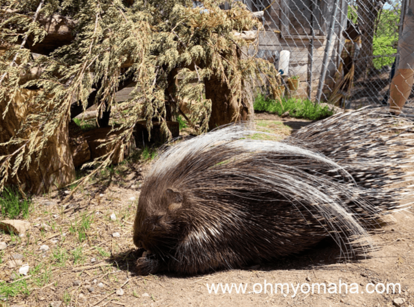 Porcupine at Scatter Joy Acres in Omaha, Neb.