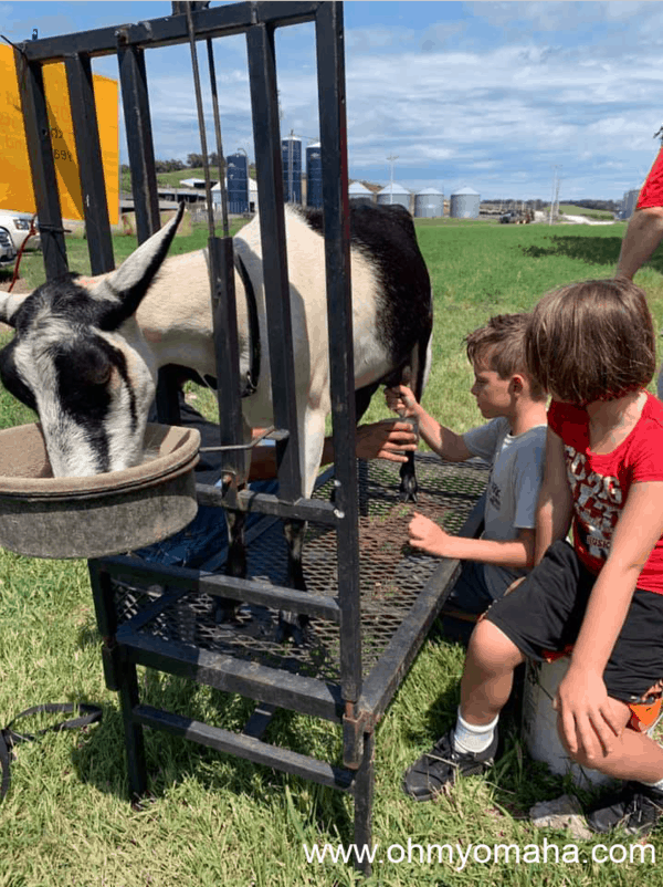 Milking a goat near Honey Creek Creamery in Iowa.