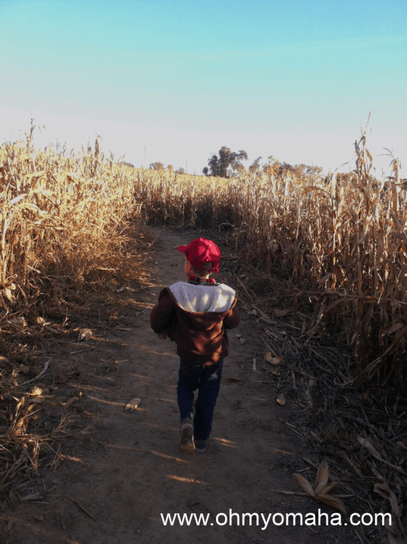 Boy walking through corn maze at Ditmars Orchard in Council Bluffs, Iowa