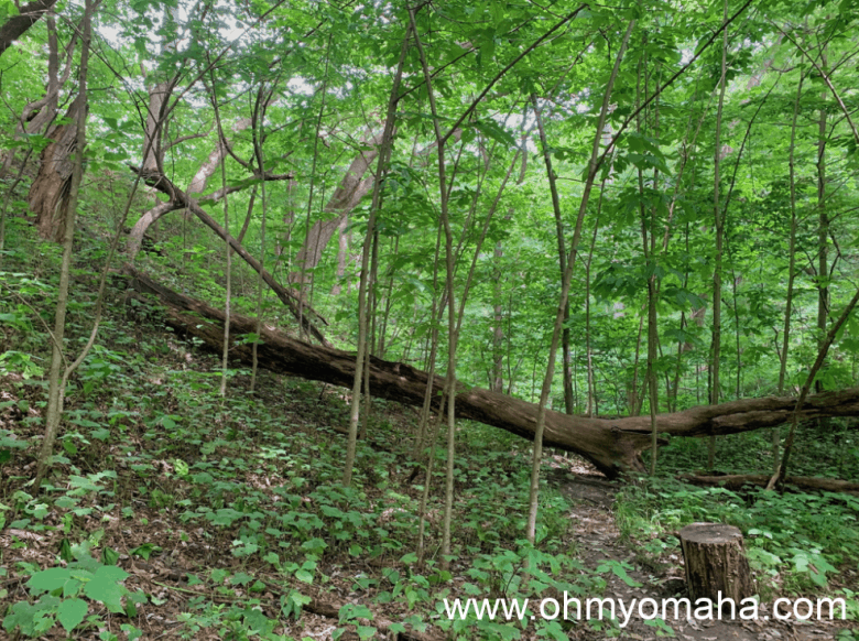 The forest of Waubonsie State Park in Iowa