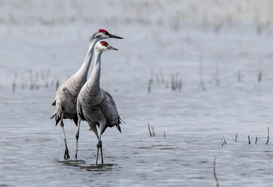 A pair of Sandhill Cranes at Rowe Sanctuary in Kearney, Nebraska.