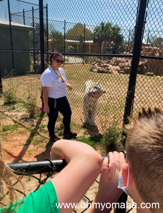 The cat keeper and Raja, the Bengal tiger, at Alabama Gulf Coast Zoo