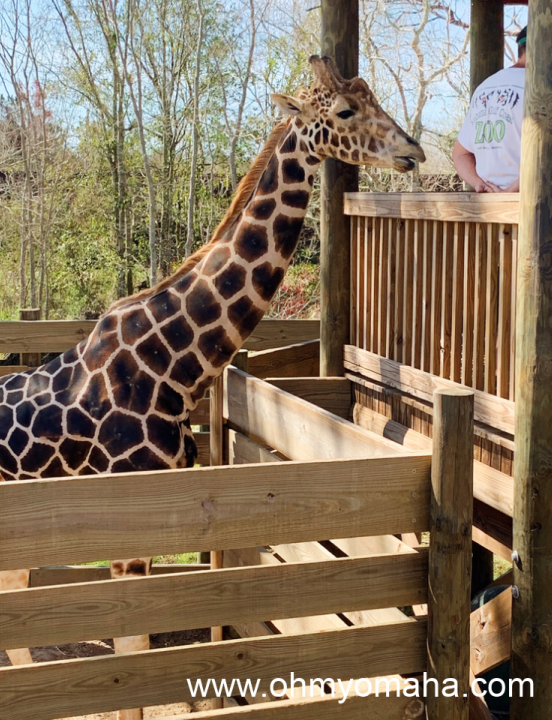 A giraffe at the stand where visitors can feed leafy greens to it.