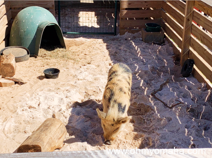 Kevin Bacon, the pig, who's known to kick a soccer ball at the Alabama zoo