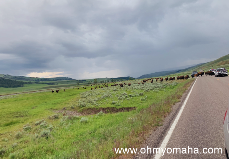 A bison herd crossing the road in Lamar Valley