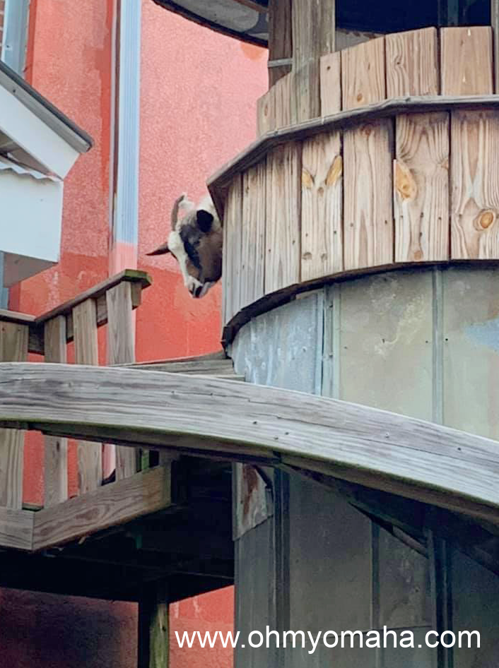 A goat peeking from behind its tower located in the patio of Silky O'Sullivan's in Memphis.