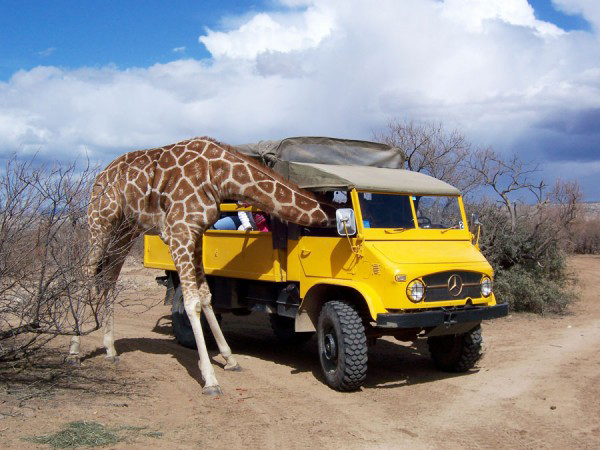 A giraffe sticks its head into a vehicle at Out of Africa Wildlife Park in Arizona