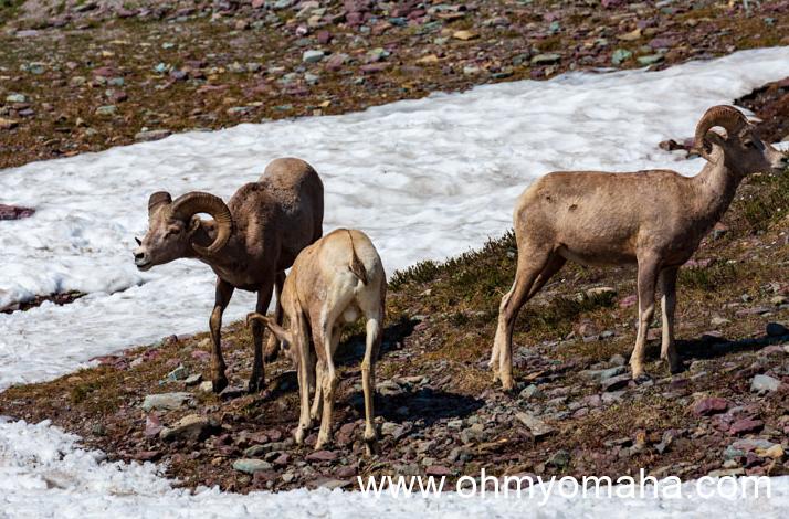 Three bighorn sheep near the Hidden Lake Trail