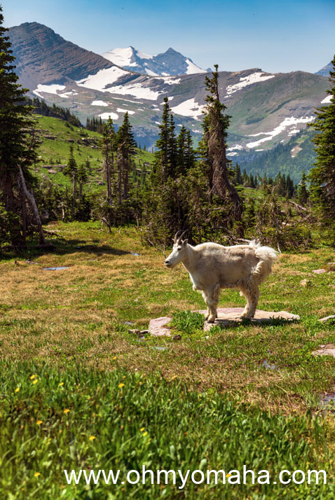 A mountain goat seen near the Hidden Lake Trail at Glacier National park