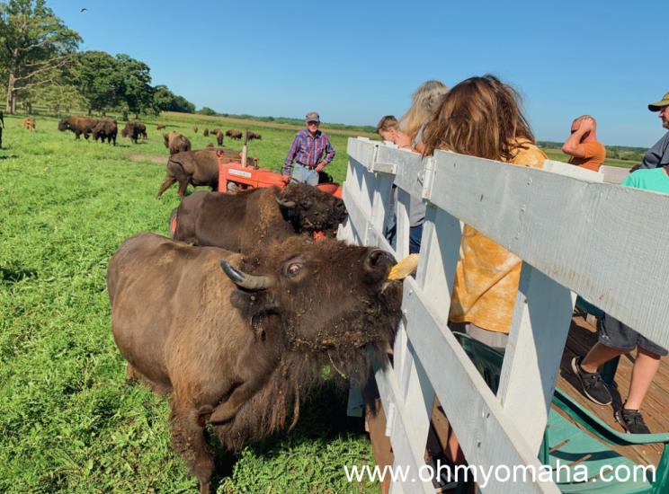 Feeding corn to a buffalo in Iowa