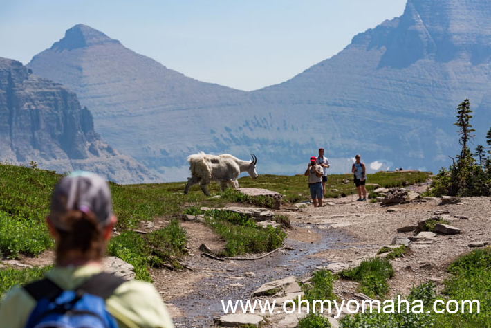 A mountain goat approaches hikers along the trail to Hidden Lake Overlook.