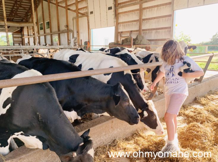 Girl walking near dairy cows in Iowa